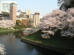 20050408_sakura